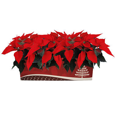 Poinsettia Multipack Box