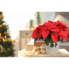 "6.5"" Poinsettia in Decorative Pot"