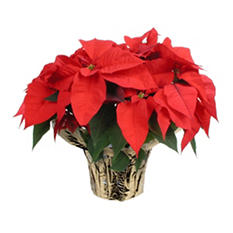 Poinsettia Planter in Decorative Covered Pot