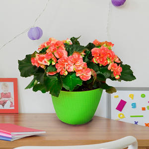 "8"" Planter with Orange Begonia"
