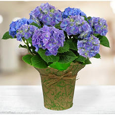 "9"" Blue Hydrangea Potted Plant by One Floral"