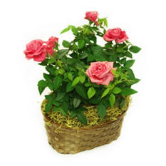 Gift Basket of Two Pink Roses