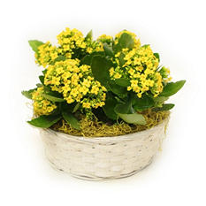 Yellow Tropical Kalanchoe Gift Basket