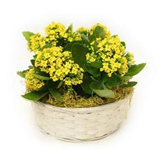 Yellow Tropical Kalanchoe Gift Basket