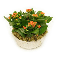 Orange Tropical Kalanchoe Gift Basket