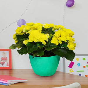 "8"" Planter with Yellow Begonia"