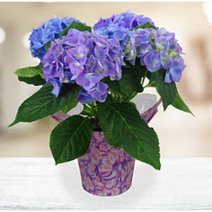 "6.5"" Planter with Blue Hydrangea"