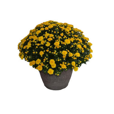 "Large 14"" Mum Planter"
