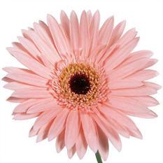 Gerbera Daisies - Pink - 80 Stems