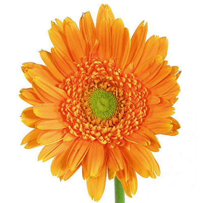Gerbera Daisies - Orange - 80 Stems