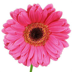 Gerbera Daisies - Hot Pink - 80 Stems