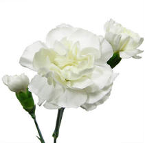 Mini Carnations - White - 150 Stems