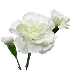 Mini Carnations - White - 150 Stems