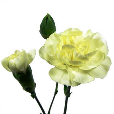 Mini Carnations - Yellow - 150 Stems