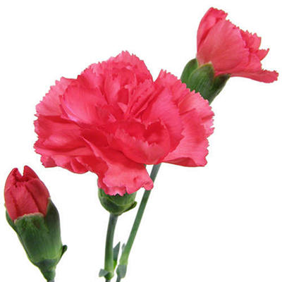 Mini Carnations - Hot Pink - 150 Stems