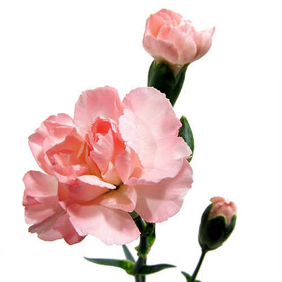Mini Carnations - Pink - 150 Stems