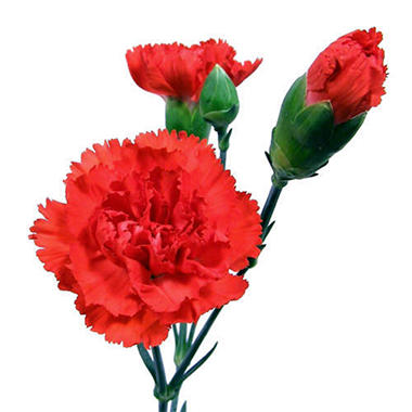 Mini Carnations - Red - 150 Stems