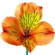 Alstroemeria - Orange - 90 Stems