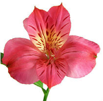 Alstroemeria - Hot Pink - 90 Stems