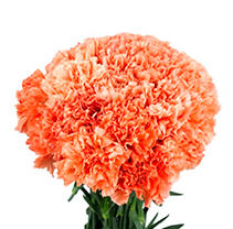 Carnations - Orange - 150 Stems