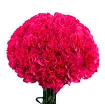 Carnations - Hot Pink - 150 Stems