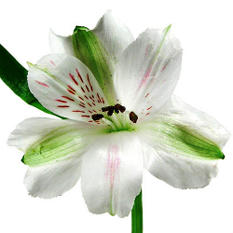 Alstroemeria - White - 90 Stems