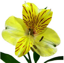 Alstroemeria - Yellow - 90 Stems