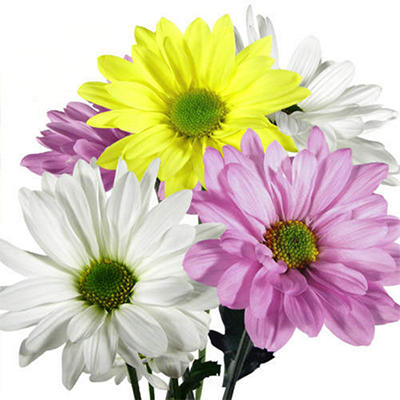 Poms - Assorted Daisy - 90 Stems