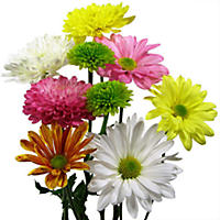 Cushion Daisy & Novelty Pompon  Assorted - 90 Stems