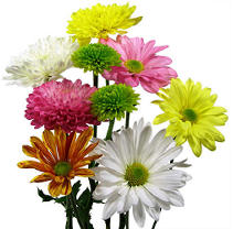 Poms - Assorted - 90 Stems