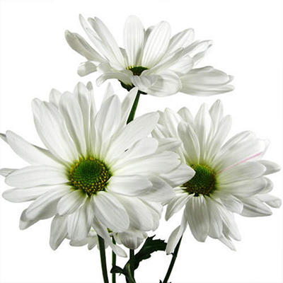 Poms - White Daisy - 90 Stems