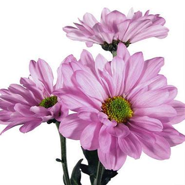 Poms - Lavender Daisy (90 Stems)