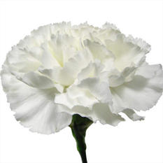 Carnations - White - 150 Stems