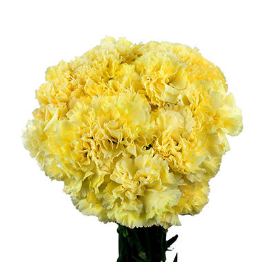 Carnations - Yellow - 150 Stems