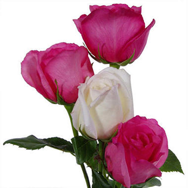 Hot Pink and White Roses Wedding Pack (100 stems)