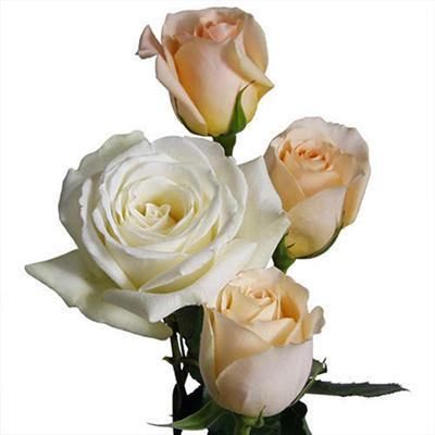 Wedding Pack - Peach & White Roses - 100 Stems