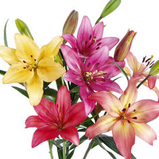 LA Hybrid Lilies -Assorted - 50 Stems