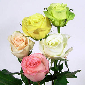 Roses - Soft Color Assortment (125 stems)