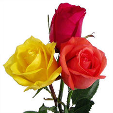 Roses - Hot Color Assortment (125 Stems)