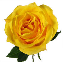 Roses - Yellow - 125 Stems Icon
