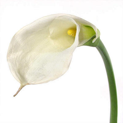 Calla Lily - White - 35 Stems