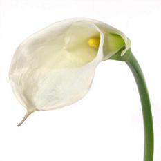 Calla Lily - White - 35 Stems