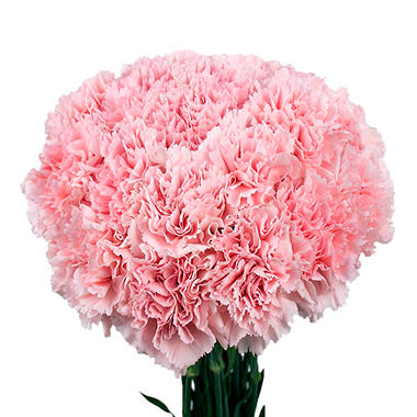Carnations - Pink (Choose stem count)