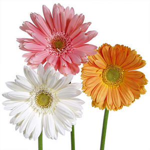 Gerbera Daisies - Assorted Soft Color - 80 Stems