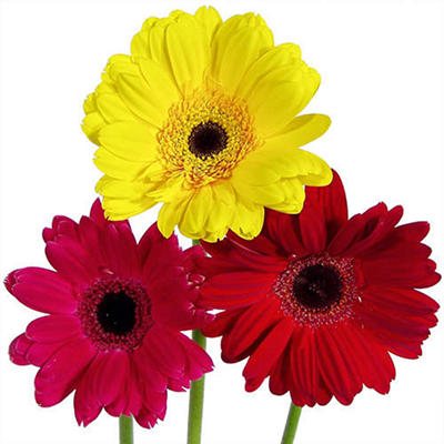 Gerbera Daisies - Assorted Hot Colors - 80 Stems