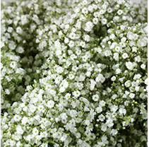 Gypsophila - Million Star - 6 Bunches