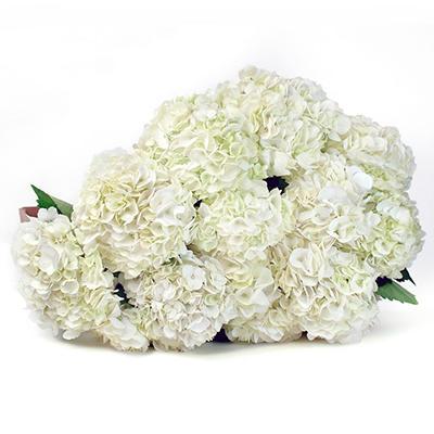 Hydrangea - White - 20 Stems