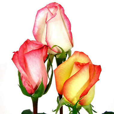 Roses - Novelty Bi Color - 125 Stems