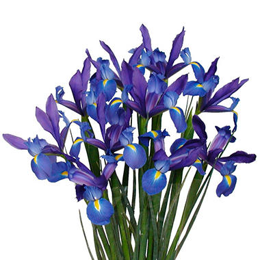 Blue Iris - 10 Stems