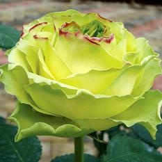 Roses - Wimbledon - 125 Stems